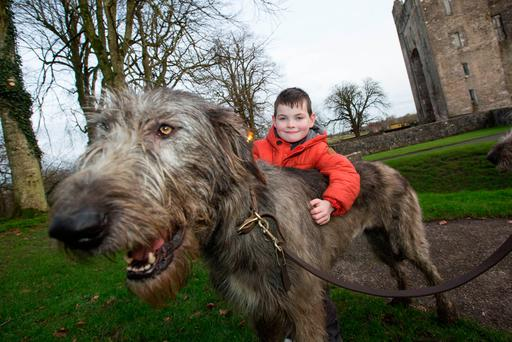 Ronan Behan age 5 from Kildimo, County Limerick with the Irish Wolfhounds at Bunratty Castle and Folk Park. Photo: Sean Curtin True Media.