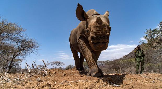 Black Rhino are back in Kenya - and tracking them on foot is a dream come true