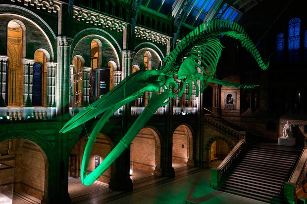 The 25.2 metre Blue Whale skeleton, called 'Hope', in the Natural History Museum, London, joins Tourism Ireland's Global Greening initiative, to celebrate the island of Ireland and St Patrick. Pic – David Parry/PA Wire