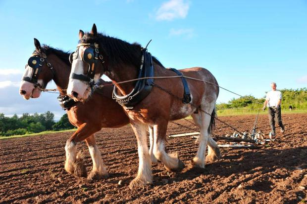 Muckross Traditional Farm Clydesdale Horses.jpg