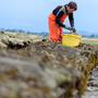 Wild Atlantic Oysters being produced, Sligo Bay.  Photographer: Peter Grogan, Emagine.
