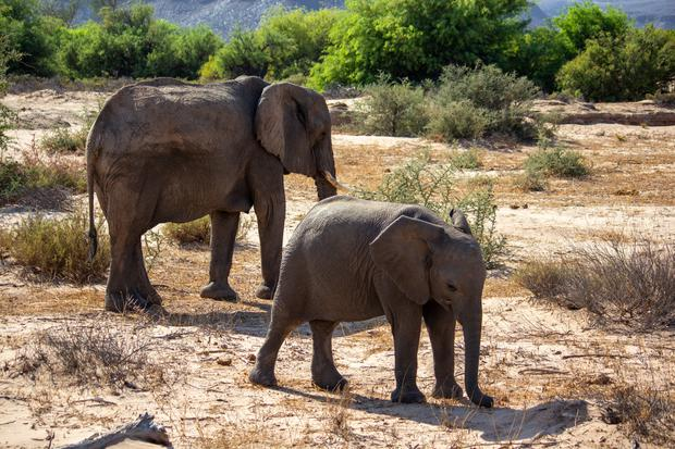 Desert Adapted Elephand and Calf.jpg