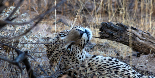 Leopards Stare in Okonjima Nature Reserve.png