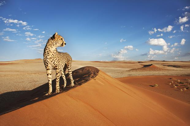 Cheetah (Acinonyx jubatus) on dune in Namibia. Photo: Martin Harvey / Getty Images.