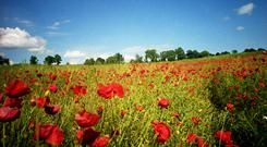 Poppy fields in Flanders.