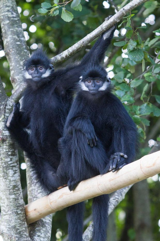 Two François Langur monkeys at Fota Wildlife Park. They are among the world's rarest monkeys, and are found in northeast Vietnam and in two Chinese provinces. They arrived at Fota just a few weeks ago.