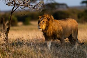 A lion in the Naboisho Conservancy. PA Photo/Sarah Marshall.
