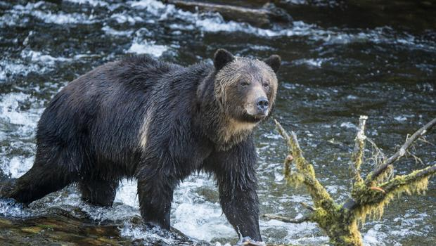 Natural wonders: A grizzly wades through the water