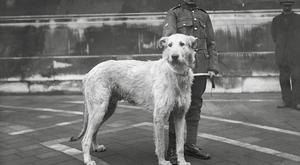 Doreen, the Irish Guards' wolfhound