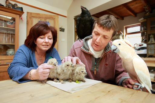 Eddie and Margaret Drew looking after some of their flock, a 10 week old raven, three, 3 week old Bengal eagle owl chicks and a cockatoo at home in Kilmacanogue Photo: Ronan Lang.