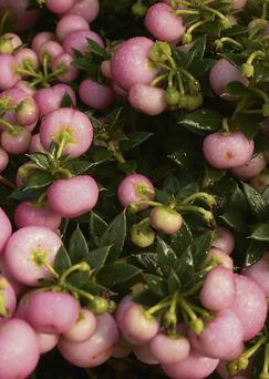 Pernettya carries large, cherry-sized berries in shades of wine-purple, pink or white