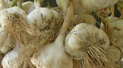 Though garlic is considered a Mediterranean vegetable, it actually relishes the cold.