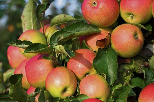 Fruit is easy to grow, especially apples