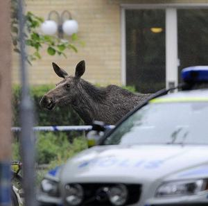 A moose makes a dash for freedom after crashing into a retirement home in Sweden (AP)