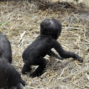 A baby gorilla dubbed Tiny has taken his first steps at his home in London Zoo