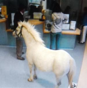 A pony waiting in the accident and emergency department of Wrexham Maelor hospital (BCUHB)