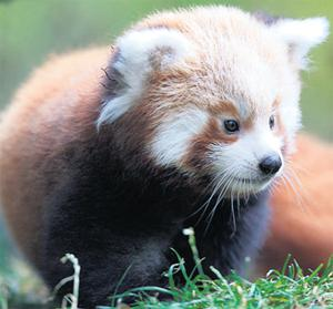 One of two red panda cubs born in August