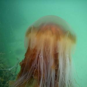 High volumes of jellyfish caused the precautionary shut-down of nuclear reactors at Torness power station