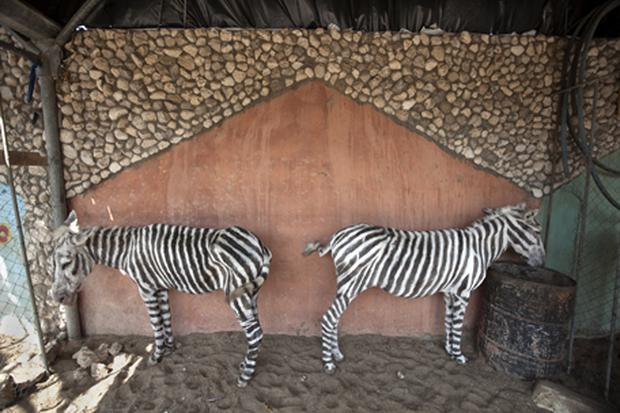 The two painted mules in Marah Land zoo in Gaza, one of which has now died. Photo: Getty Images
