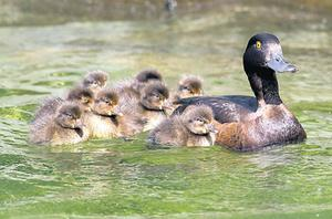 The mother duck sets off with her brood before the attack