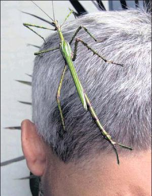 If you have too many stick insects, find a victim to take them on as pets rather than releasing them into the wild. Photo:foxgully.wordpress.com