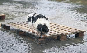 This dog adopted a new means of transport as the river spilled water throughout Arklow