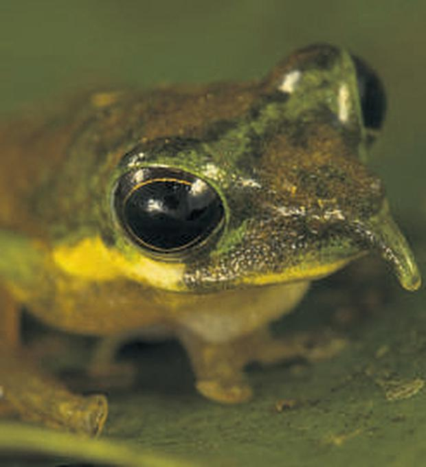 A long-nosed frog