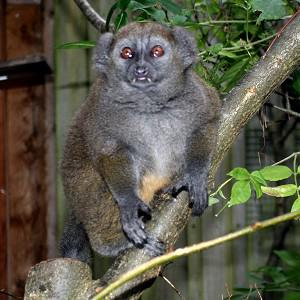 Bristol Zoo Gardens hopes lemur Christian Grey will prove a hit with his female companions