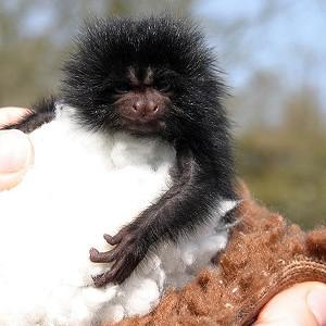 This baby black lion tamarin is the first to have been bred outside Brazil for eight years (Durrell Wildlife CT)