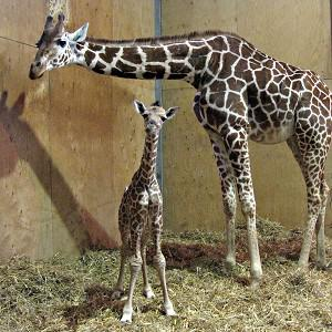 Baby giraffe George and his mother Genevieve at Noah's Ark Zoo Farm in Bristol