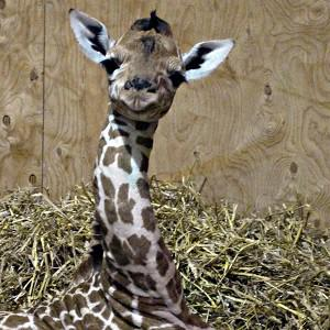 Baby giraffe George who was born at Noah's Ark Zoo Farm in Bristol