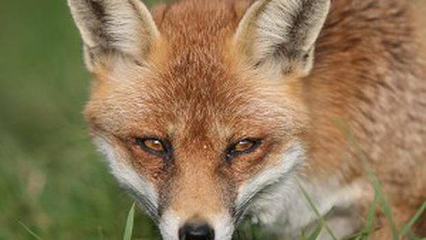 A three-year-old boy has been attacked by a fox in Brighton