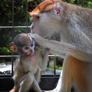 A Patas monkey was beaten to death at an American zoo (AP)
