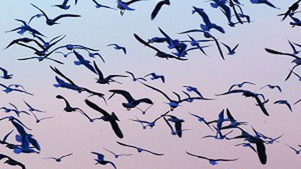 Authorities said the birds died of alcohol poisoning, not avian flu as feared