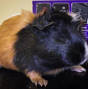 Police believed they had found a cannabis factory - but it was an electric heater for guinea pigs