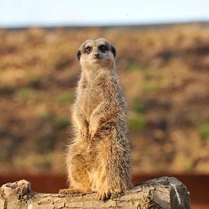 A student has been charged with stealing a meerkat in Kent