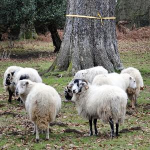 Nancy the Chihuahua knows how to give sheep the runaround