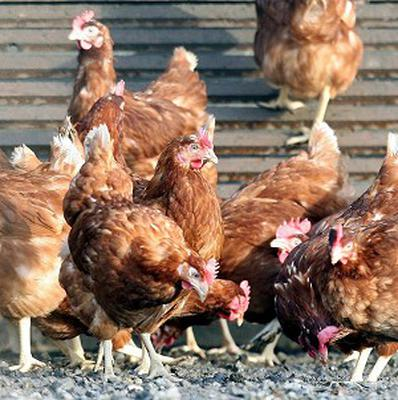 A Food Standards Agency spokesman said just four per cent of poultry were not stunned prior to being slaughtered