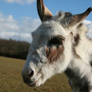 Donkeys are known to be very protective animals, according to the PDSA