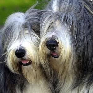 A 'dating site for dogs' has been launched to improve the health of pedigree animals