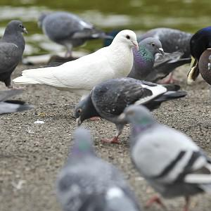 A new red-hot weapon is being unleashed against unwanted colonies of pigeons and other pest birds
