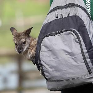 Zoo keeper Jo Shirley from Whipsnade Zoo with an orphaned baby wallaby