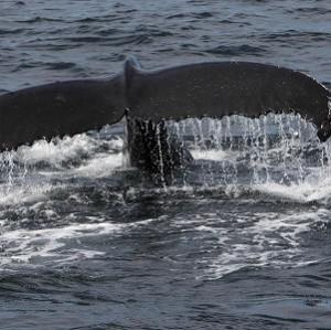A humpback whale has travelled the longest distance recorded for any mammal without assistance