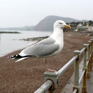 Territorial gulls have been attacking two elderly women around their Falmouth home