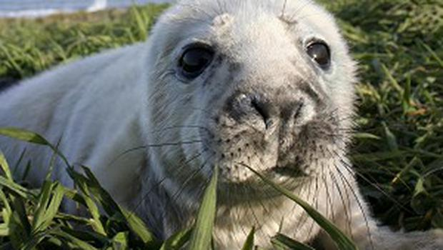 Three seal pups have survived an 'incredible journey' 350 miles across the North Sea after being swept away from the Farne Islands