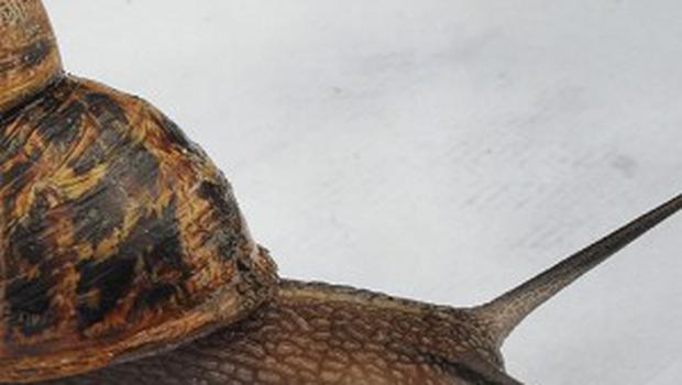 Snails are being used to sniff out pollution in Russia