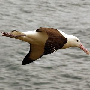 A short-tailed albatross hatched at Eastern Island about 1,300 miles north-west of Honolulu