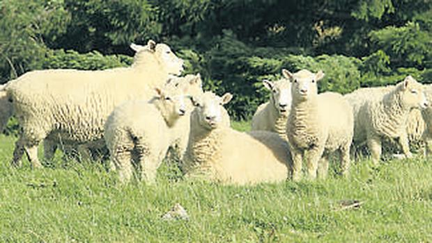 Thinning out: Tightly packing your flock into small paddocks will dirty the grass. Spread stock out to improve usage