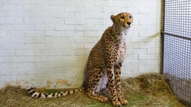 Isaac the cheetah who was seized by officials at Heathrow Airport when they spotted his identity marker, used to tackle the trade in illegal animals and stop smugglers cheating the system, was missing. Photo: PA