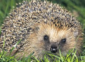 Hedgehogs, with their clever summer planning, know all about making the most of life's opportunities. Sadly, many humans don't. When it comes to human hardship, I do have sympathy, but we should learn to be happy with our lot and not be afraid of hard work